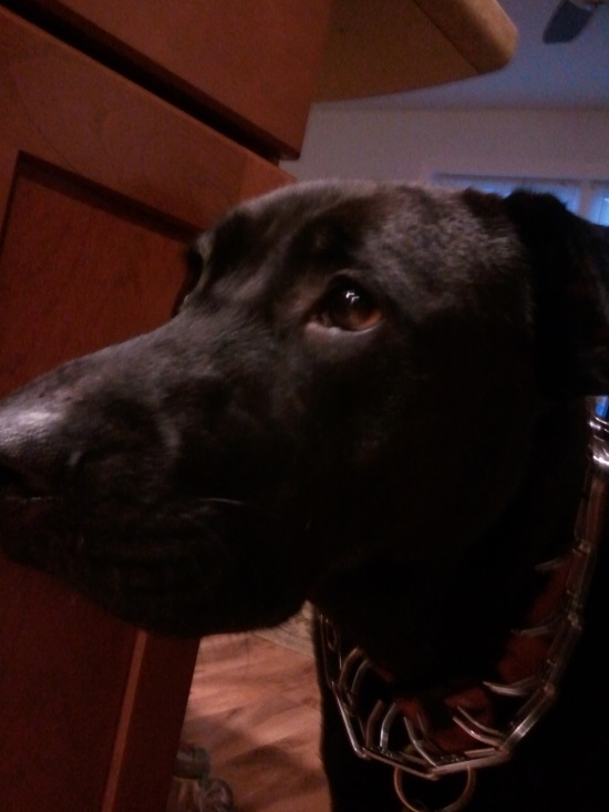 Turtle the Lab wears an intense prong collar.