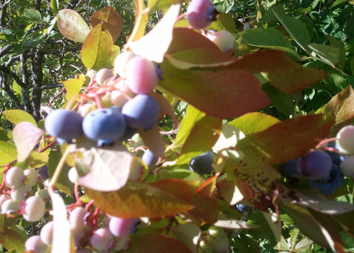 "Go for the bright blueberries. Don't get distracted and start picking the pink ones like ""someone"" did."
